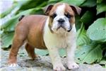 Picture of Gidget - English Bulldog Female