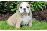 English Bulldog for sale