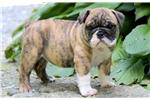 Picture of Gala - English Bulldog Female