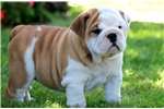 Picture of Spring - English Bulldog Female