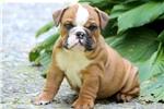 Picture of Gunner - English Bulldog Male