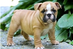 Picture of Glenda - English Bulldog Female