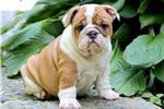 Picture of Gwen - English Bulldog Female