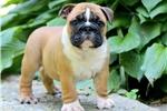 Picture of Gilbert - English Bulldog Male