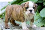 Picture of Geronimo - English Bulldog Male
