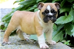 Picture of George - English Bulldog Male
