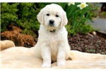 Picture of Coop - English Cream Golden Retriever Male