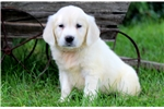 Picture of Abby - English Cream Golden Female