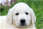 Picture of Sarge - English Cream Golden Male