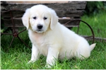 Picture of Abe - English Cream Golden Male