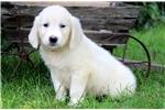 Picture of Archie - English Cream Golden Retriever