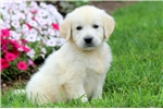 Picture of Stewie - English Cream Golden Male
