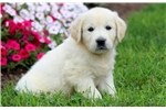 Picture of Spike - English Cream Golden Male