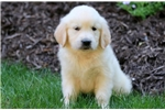 Picture of Davey - English Cream Golden Retriever Male