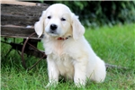 Picture of Ace - English Cream Golden Male
