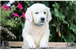 Picture of Axel - English Golden Retriever Male