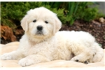 Picture of Carson - English Cream Golden Retriever Male