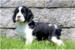 Picture of Sal - English Springer Spaniel Male