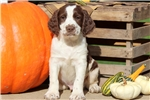Picture of Parker - English Springer Spaniel Male