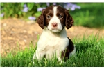 Picture of Stanley - English Springer Spaniel Male