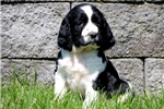 Picture of Spike - English Springer Spaniel Male