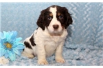 Picture of Gino - English Springer Spaniel Male