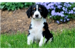 Picture of Sneakers - English Springer Spaniel Male