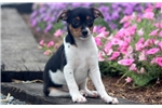 Picture of Major - Toy Fox Terrier Male