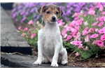 Picture of Miles - Toy Fox Terrier Male