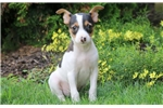 Picture of Huck - Toy Fox Terrier Male