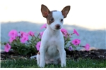 Picture of Star - Toy Fox Terrier Female