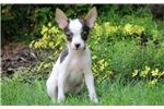 Picture of Heaven - Toy Fox Terrier Female
