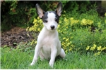 Picture of Hero - Toy Fox Terrier Male
