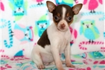 Picture of Buttercup - Toy Fox Terrier Female