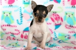 Picture of Baby - Toy Fox Terrier Female
