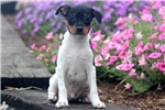 Picture of Mitch - Toy Fox Terrier Male