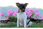 Picture of Sweetie - Toy Fox Terrier Female