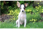 Picture of Hercules - Toy Fox Terrier Male