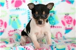 Picture of Binkie - Toy Fox Terrier Female