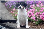 Picture of Moby - Toy Fox Terrier Male