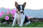 Picture of Scoops - Toy Fox Terrier Male