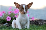 Picture of Secret - Toy Fox Terrier Female