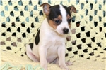 Picture of Sal - Toy Fox Terrier Male
