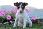 Picture of Scooby - Toy Fox Terrier Male