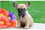 Picture of Spring - French Bulldog Female