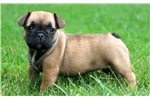 Picture of Shana - French Bulldog Female