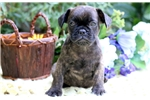 Picture of Archie - French Bulldog Male