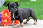 Picture of Summer - French Bulldog Female