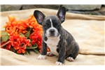 Picture of Jinks - French Bulldog Male