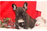 Picture of Carter - French Bulldog Male